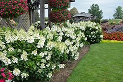 Fire Light® Hydrangea (Hydrangea paniculata 'SMHPFL') at English Gardens