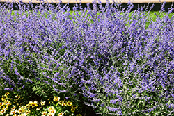 Crazy Blue Russian Sage (Perovskia atriplicifolia 'Crazy Blue') at English Gardens
