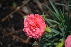 Fruit Punch® Classic Coral Pinks (Dianthus 'Classic Coral') at English Gardens