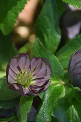 Wedding Party® Dark and Handsome Hellebore (Helleborus 'Dark and Handsome') at English Gardens