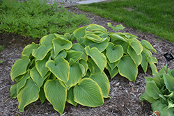 Victory Hosta (Hosta 'Victory') at English Gardens