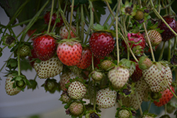 Berried Treasure™ Red Strawberry (Fragaria ananassa 'Berried Treasure Red') at English Gardens