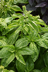 Genovese Basil (Ocimum basilicum 'Genovese') at English Gardens