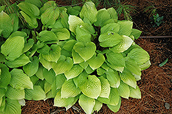 Fire Island Hosta (Hosta 'Fire Island') at English Gardens