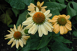 Aloha Coneflower (Echinacea 'Aloha') at English Gardens