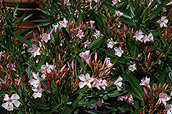 Dwarf Pink Ice Oleander (Nerium oleander 'Dwarf Pink Ice') at English Gardens