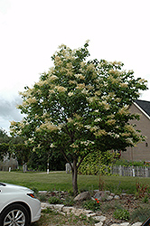 Japanese Tree Lilac (Syringa reticulata) at English Gardens