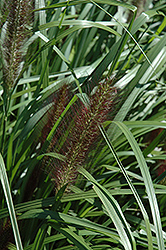 Red Head Fountain Grass (Pennisetum alopecuroides 'Red Head') at English Gardens