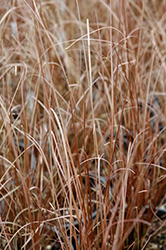 Red Rooster Sedge (Carex buchananii 'Red Rooster') at English Gardens