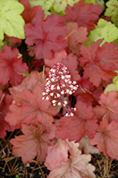 Fire Alarm Coral Bells (Heuchera 'Fire Alarm') at English Gardens