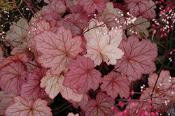 Georgia Peach Coral Bells (Heuchera 'Georgia Peach') at English Gardens