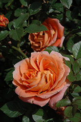 Amber Sunblaze® Rose (Rosa 'Meiludoca') at English Gardens