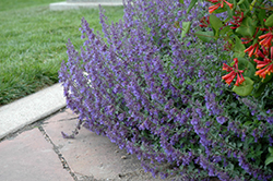 Six Hills Giant Catmint (Nepeta x faassenii 'Six Hills Giant') at English Gardens