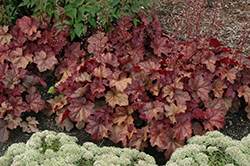 Lava Lamp Coral Bells (Heuchera 'Lava Lamp') at English Gardens