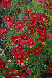 Red Satin Tickseed (Coreopsis 'Red Satin') at English Gardens