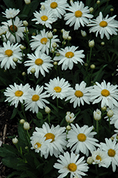 Whoops-A-Daisy Shasta Daisy (Leucanthemum x superbum 'Whoops-A-Daisy') at English Gardens