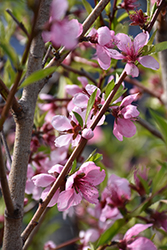 Elberta Peach (Prunus persica 'Elberta') at English Gardens