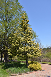 Cripps Gold Falsecypress (Chamaecyparis obtusa 'Crippsii') at English Gardens