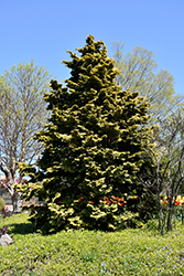 Confucius Hinoki Falsecypress (Chamaecyparis obtusa 'Confucius') at English Gardens