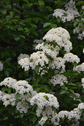Blackhaw Viburnum (Viburnum prunifolium) at English Gardens