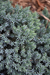 Blue Star Juniper (Juniperus squamata 'Blue Star') at English Gardens