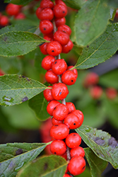 Red Sprite Winterberry (Ilex verticillata 'Red Sprite') at English Gardens