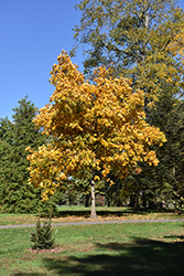 Shagbark Hickory (Carya ovata) at English Gardens