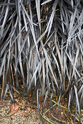 Black Mondo Grass (Ophiopogon planiscapus 'Nigrescens') at English Gardens