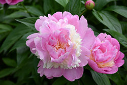 Sorbet Peony (Paeonia 'Sorbet') at English Gardens