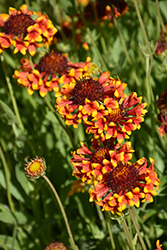 Fanfare Blanket Flower (Gaillardia x grandiflora 'Fanfare') at English Gardens