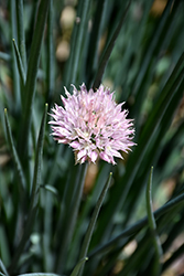 Pink Giant Chives (Allium schoenoprasum 'Pink Giant') at English Gardens