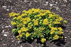 Little Miss Sunshine Stonecrop (Sedum 'Little Miss Sunshine') at English Gardens