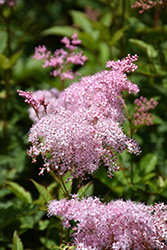 Queen Of The Prairie (Filipendula rubra) at English Gardens