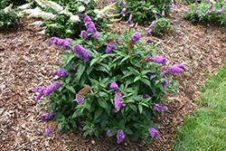 Pugster® Periwinkle Butterfly Bush (Buddleia 'SMNBDO') at English Gardens