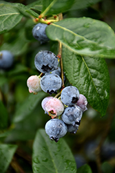 Blue Jay Blueberry (Vaccinium corymbosum 'Blue Jay') at English Gardens