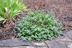 Early Bird Catmint (Nepeta 'Early Bird') at English Gardens