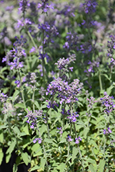 Little Trudy Catmint (Nepeta 'Psfike') at English Gardens