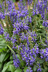 Magic Show® Wizard of Ahhs Speedwell (Veronica 'Wizard of Ahhs') at English Gardens