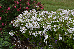 Fashionably Early Crystal Garden Phlox (Phlox 'Fashionably Early Crystal') at English Gardens
