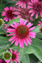 Delicious Candy Coneflower (Echinacea 'Delicious Candy') at English Gardens