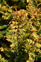 Fernspray Gold Falsecypress (Chamaecyparis obtusa 'Fernspray Gold') at English Gardens