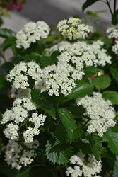 Blue Muffin® Viburnum (Viburnum dentatum 'Christom') at English Gardens