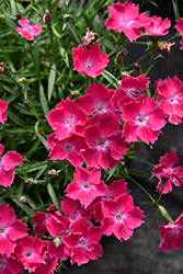 Kahori® Scarlet Pinks (Dianthus 'Kahori Scarlet') at English Gardens
