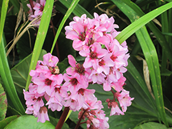 Dragonfly™ Sakura Bergenia (Bergenia 'Sakura') at English Gardens
